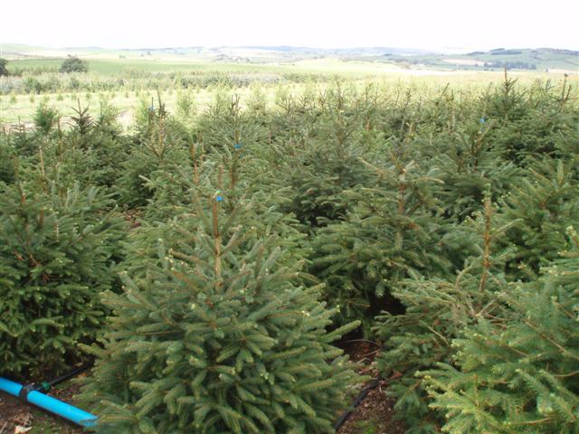 Norway Spruce Potted Christmas Xmas Trees Xmas Tree Sales