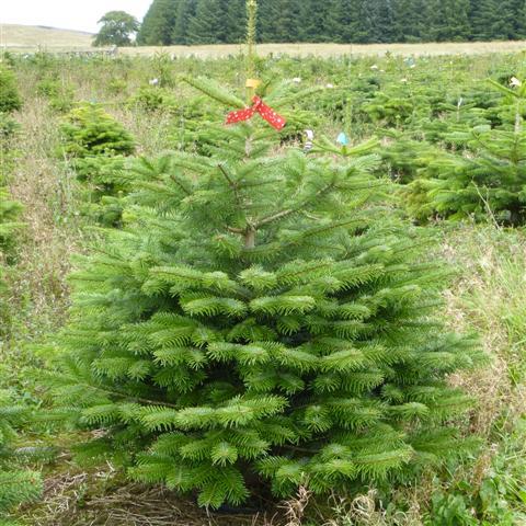 Christmas Trees Xmas Trees Christmas Tree Xmas Tree