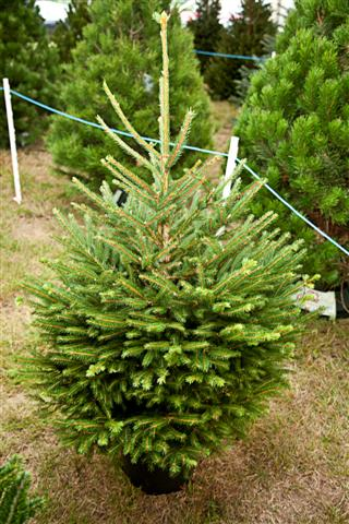 Live Decorated Christmas Trees Delivered