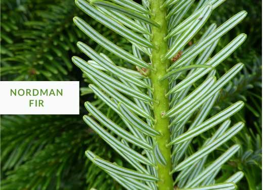 normand fir christmas tree