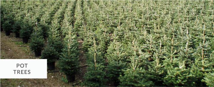 pot grown christmas trees