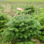 Pot Grown Nordman Fir Christmas Treees