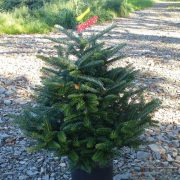 Pot grown frasr fir christmas tree