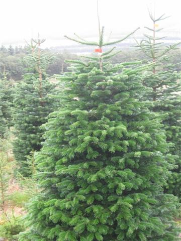 tall Christmas trees ready to impress