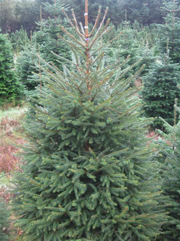 The perfect outdoor Christmas Tree