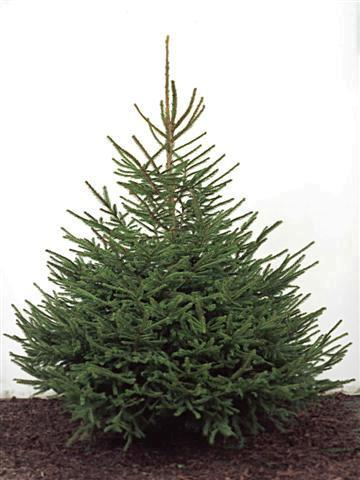 cut Christmas tree
