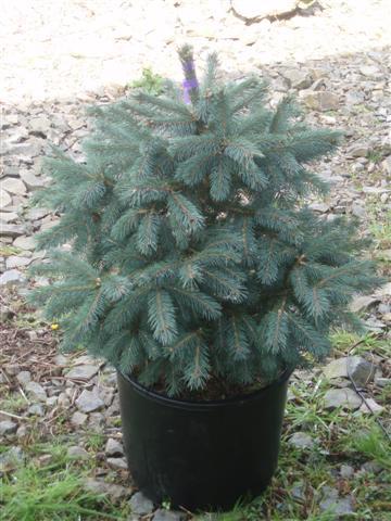 Englemann Spruce live Christmas trees