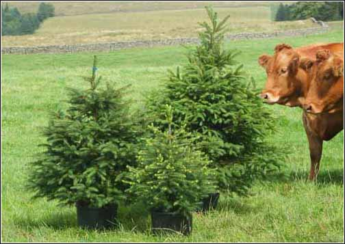 fresh container grown christmas trees