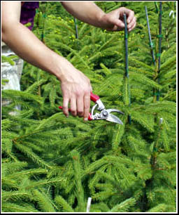 Christmas tree care