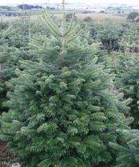 Nordman Fir Christmas trees