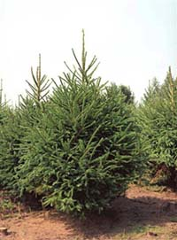 Norway Spruce Christmas trees