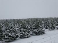 fraser-fir-seeds-field-february-2013-009