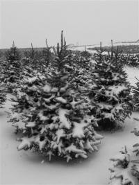 nordman-fir-seeds-field-february-2013-019