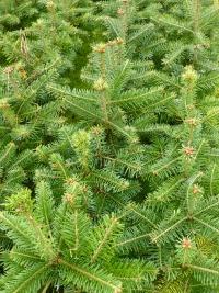 danish-22-nordman-fir