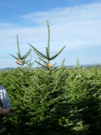 fraser-fir-that-is-200225cms