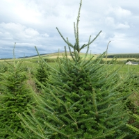 why-we-shear-fraser-fir