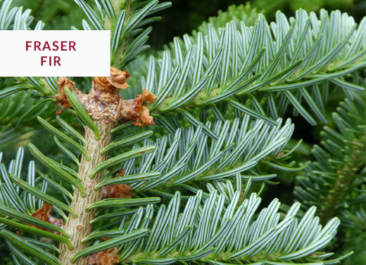 fraser fir christmas tree