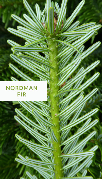 normand fir christmas tree