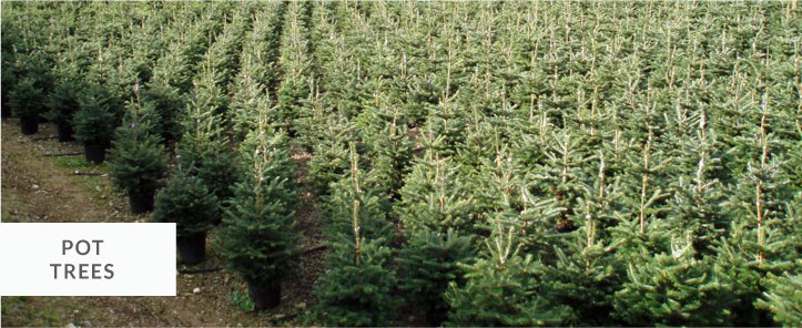 pot grown christmas trees