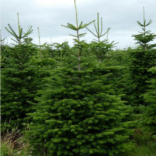 Nordman Fir Christmas Trees Freshly Cut Scottish Christmas Trees