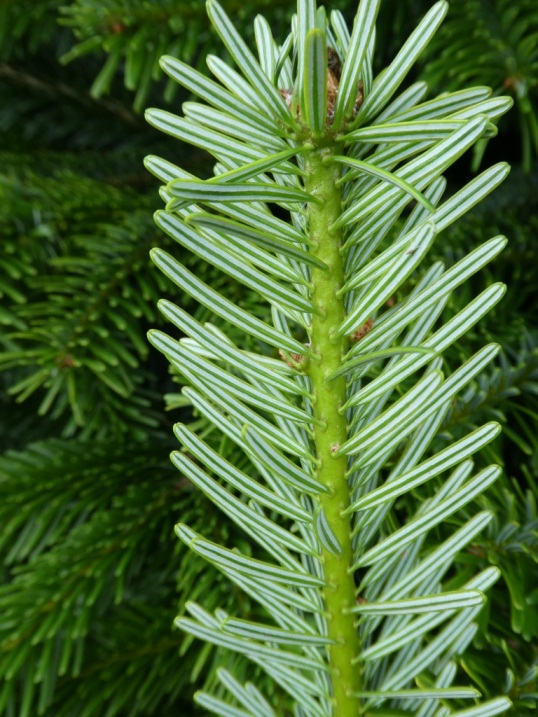Wholesale Christmas Tree Farm