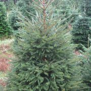 7ft Norway spruce christmas tree
