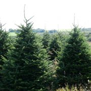 fraser-fir-trees-looking-to-plascow-sct