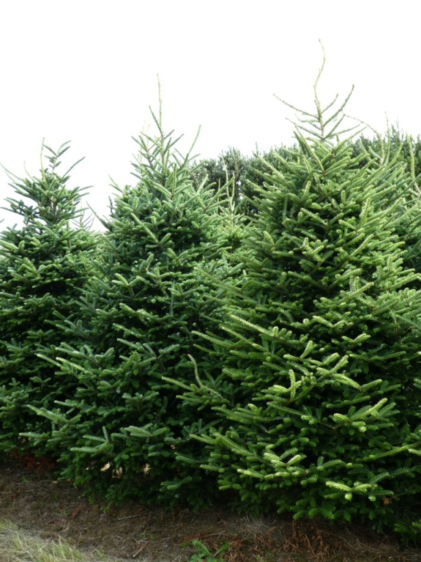 Real Fraser Fir Christmas Trees Freshly Cut Christmas Trees