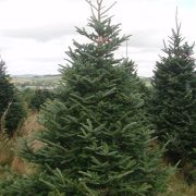 Real Fraser fir christmas trees