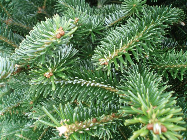 Fraser Fir Christmas Trees