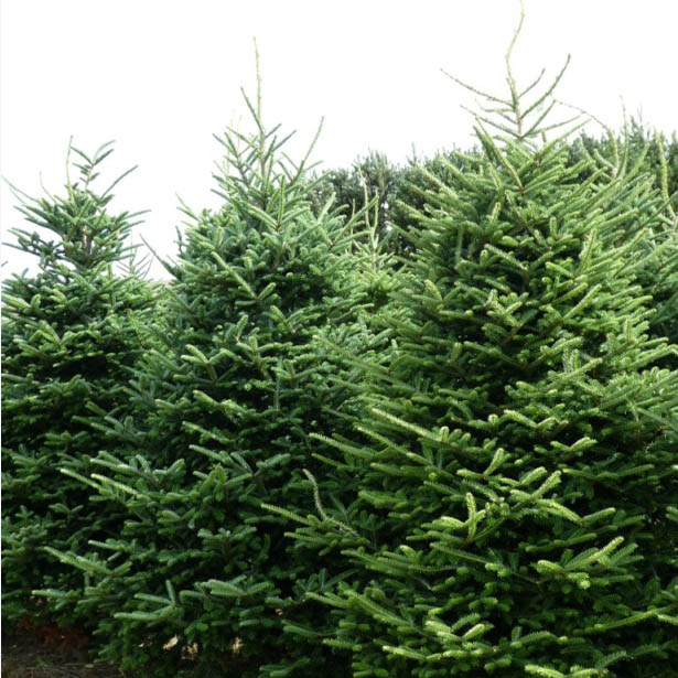 Fraser Fir Christmas Trees: Real Fraser Fir Christmas Trees Freshly Cut Christmas Trees