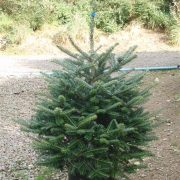 Pot grown fraser fir xmas tree