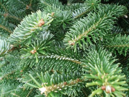 Fraser fir xmas tree foliage