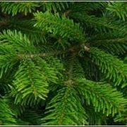 Nordman Fir Foliage