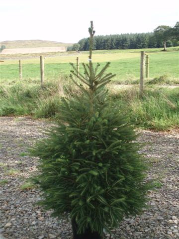 Potted Norway Spruce Scottish Christmas Trees