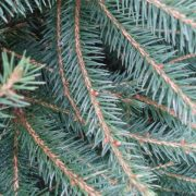 norway spruce foliage
