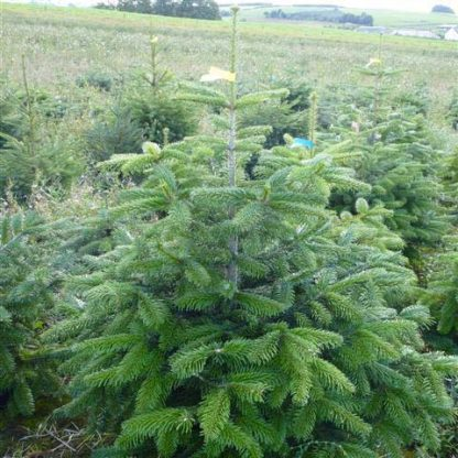 Pot grown nordman fir christmas trees