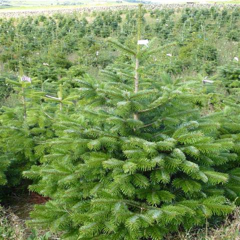 Potted Nordman Fir Scottish Christmas Trees