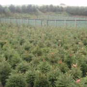 Potted norway spruce christmas trees