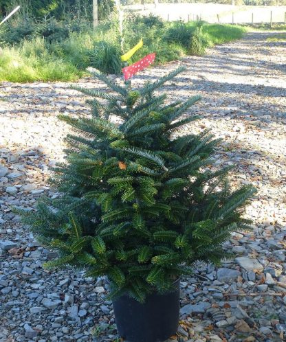 Potted Fraser Fir