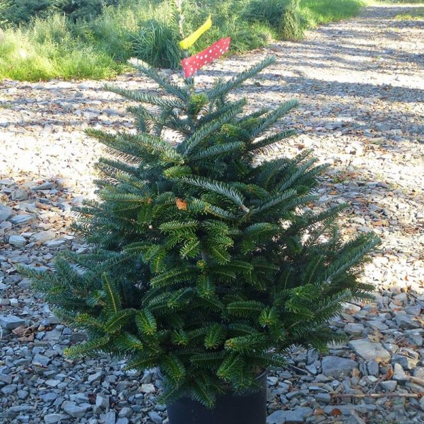 Fraser Fir Christmas Trees: Scottish Christmas Trees